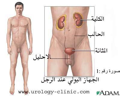 الجهاز البولي عند الرجل